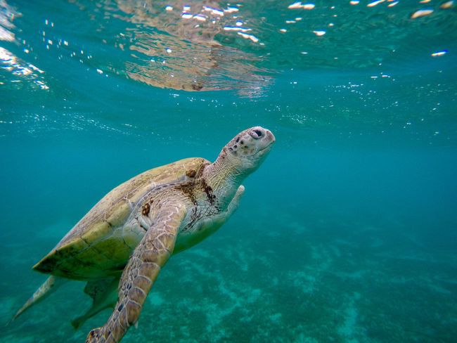 Animal Themes Animal Wildlife Animals In The Wild Beauty In Nature Close-up Day Nature No People One Animal Outdoors Read Sea Reptile Sea Sea Life Sea Turtle Swimming Tortoise Shell Turtle UnderSea Underwater Water