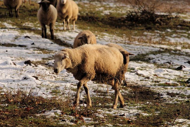 Sheep Snow