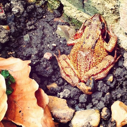 Lord luv'a duck.. We've got a resident amphibian in our garden!
