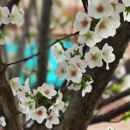 Flower Tree Fragility Beauty In Nature Blossom Growth White Color Apple Blossom Branch Freshness Nature Springtime No People Day Petal Close-up Flower Head Outdoors Blooming