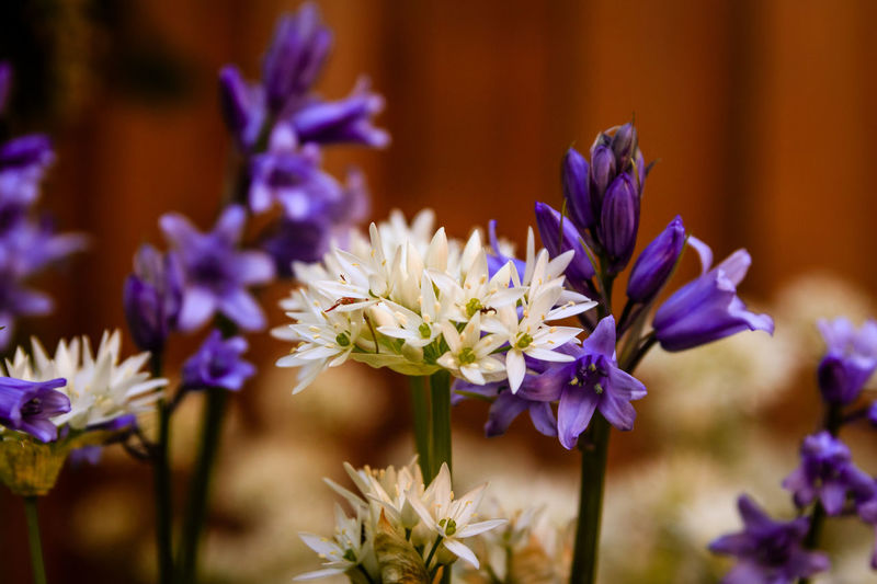 Garlic flower Beauty In Nature Bokeh Close-up Day Flower Flower Arrangement Flower Head Flowering Plant Focus On Foreground Fragility Freshness Garden Garlic Flower Growth Indoors  Inflorescence Macro Nature No People Petal Plant Purple Selective Focus Vulnerability  White Flower