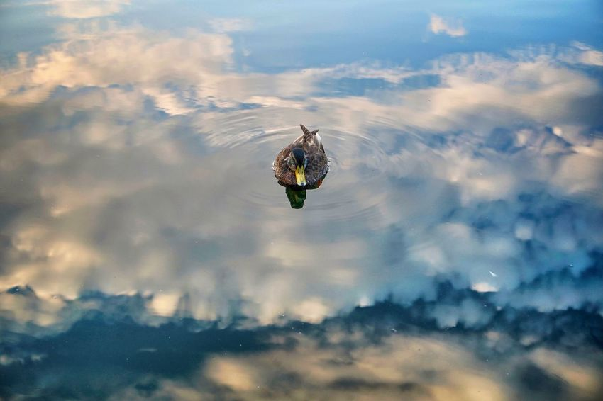 heaven on earth, two Female Duck Getting Inspired Magic Reflection Evening Clouds Mirror Lake Sky Animal Themes Animal Cloud - Sky Animal Wildlife One Animal Animals In The Wild Outdoors Bird Nature Water