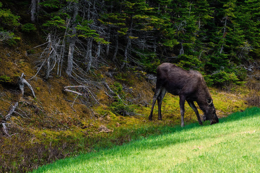 A moose eating grass on the side on the road in Cape Breton, Nova Scotia, Canada Nova Scotia, Canada Animal Animal Themes Animal Wildlife Animals In The Wild Canada Cape Breton Highland National Park Day Domestic Animals Field Forest Grass Herbivorous Land Mammal Moose Nature No People One Animal Outdoors Plant Side View Tree Vertebrate WoodLand
