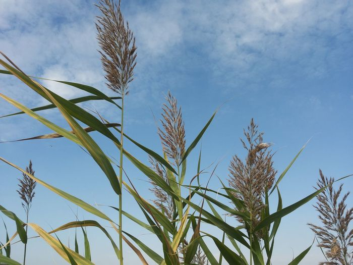 Low angle view of wheat plants against blue sky