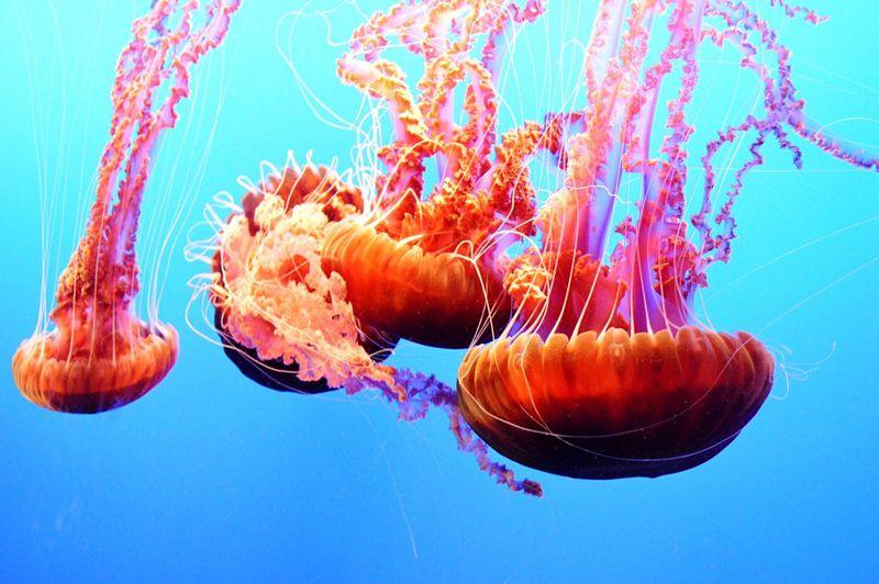 Jellyfish at Monterey Bay Aquarium Monterey Bay California Travel Sealife