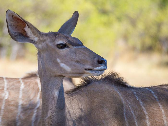 Close-up portrait of female greater kudu, moremi game reserve, botswana