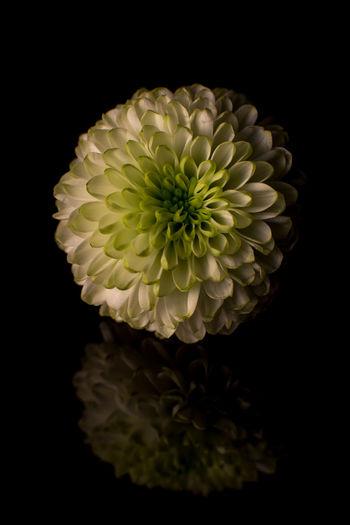 Close-up Close Up Closeup Macro Macrophotography Reflection Plant Flowers,Plants & Garden Floral Flower Black Background Flower Head Nature Beauty In Nature Petal