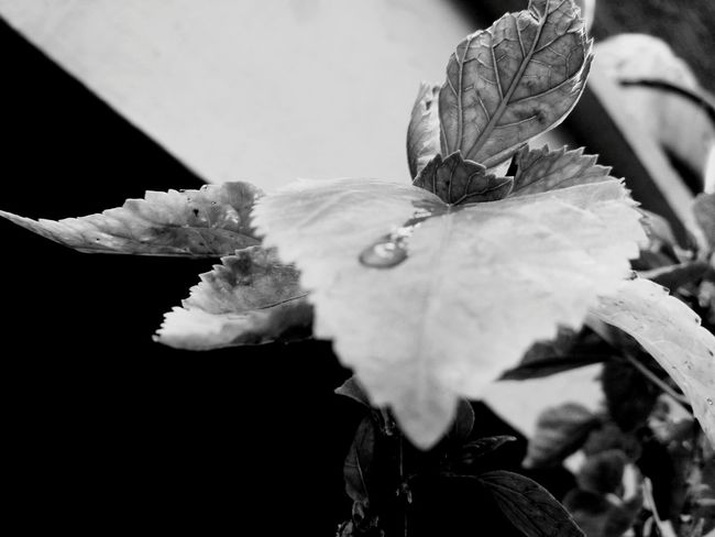 rain drop on leaf. Looking At Camera Black Color Leafs Photography Indianphotographer Small Trees Rainy Day Raindrops