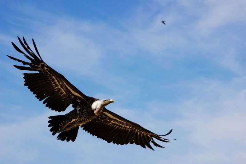 Low Angle View Of Vulture Flying Against Sky