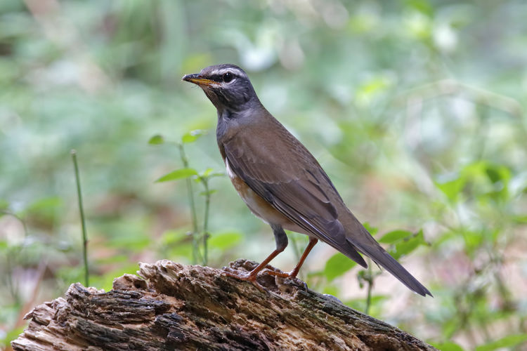 One Animal Animal Themes Animal Animal Wildlife Animals In The Wild Vertebrate Bird Perching Plant Focus On Foreground Tree No People Day Nature Close-up Solid Outdoors Full Length Rock - Object Wood - Material Bark Blackbird