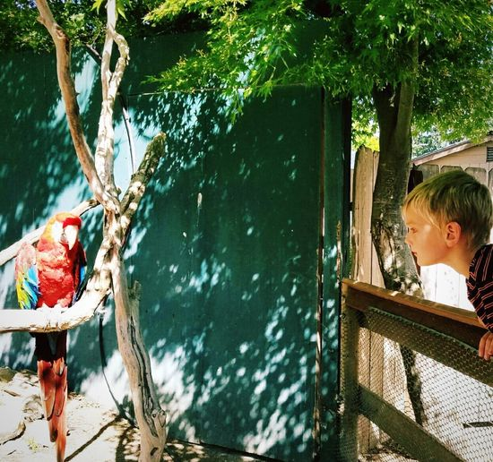 Side view of cute boy looking at red scarlet macaw perching on branch in zoo