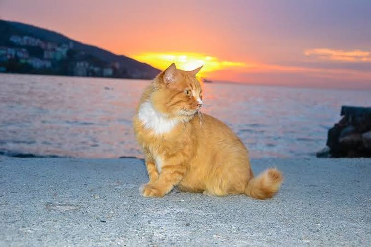 Cat sitting on shore at beach against sky during sunset