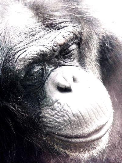 Affe Affen Schimpanse Blackandwhite Black And White Black & White Black And White Photography Schwarzweiß Schwarzweißfotografie Schwarz & Weiß Schwarz Weiß Zoo Zoophotography Zoo Animals  Hannover