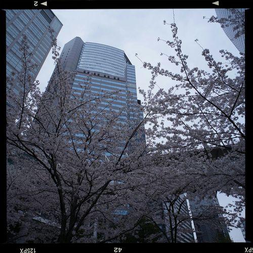 品川にて。オフィスビルの中庭に咲く桜を一撮。【GXRMOUNTA12+voigtlander ultra wide heliar 12㎜F5.6】 品川 桜 Gxr 超広角レンズ