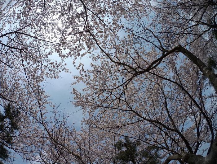Sky Beauty In Nature Cherry Blossoms Flower Collection Gorgeous Japan Sakura Sakura Blossom Sky And Sakura Sky And Trees