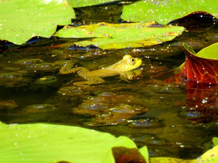 Little Green Frog Frog Frogs Froggy Green Frog In The Water Amphibian Amphibian Photography Greenery Green Wildlife Wildlife & Nature Wildlife Photography Pond Pond Life Water Leaf Floating On Water Autumn Waterfront Reflection Swimming Lily Pad Pond Water Plant Water Lily Floating Algae Lily Leaves