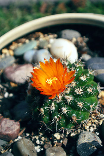 Cactus Cactus Close-up Close-up Flowering Cacti Flowering Cactus Flowering Cactus Orange Flower Potted Cactus Pot Small Cac