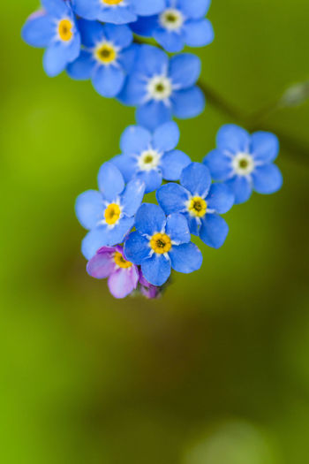 Forget me not flower #Blue #Garden #Nature  #flowers #forgetmenot #green #macro #macrolens #macrophotography #sunset #sun #clouds #skylovers #sky #nature #beautifulinnature #naturalbeauty #photography #landscape