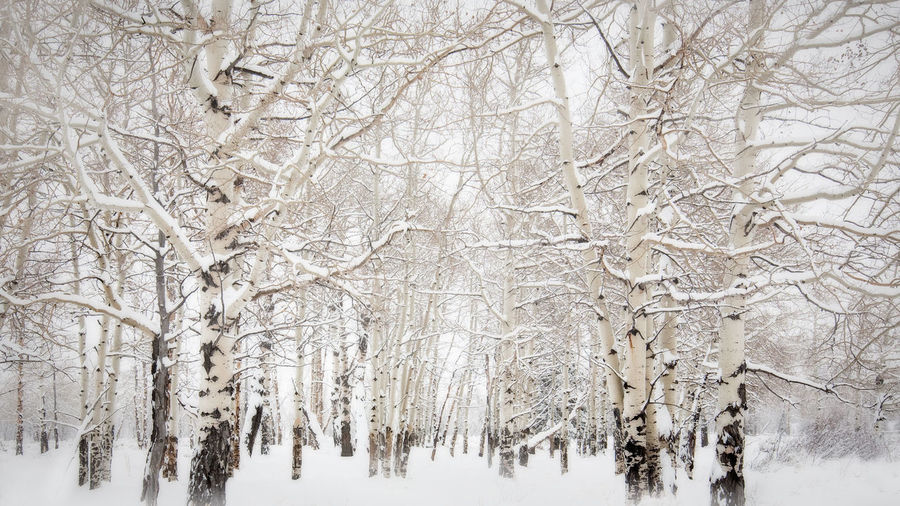 woods in white