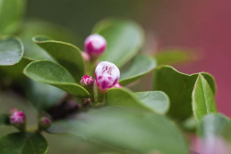 Spring blossom, apple bloom, sakura flowers close-up, natural background, spring Day Outdoors Freshness Green Color Nature Plant Part Growth Leaf Close-up Selective Focus Plant Flower Beauty In Nature No People Spring Blossom Blooming Apple Sacura Cherry Blossom Bright Colorful Pink Season