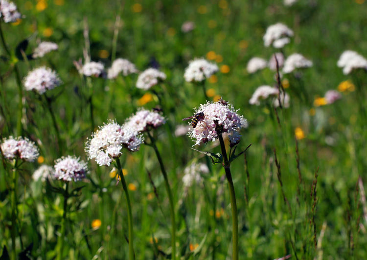 Wild flowers on the sub-alpine meadows Beauty In Nature Blooming Close-up Day Flower Flower Head Fragility Freshness Growth Insect Nature No People Outdoors Plant