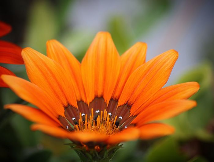 Close-up of orange flower blooming at park