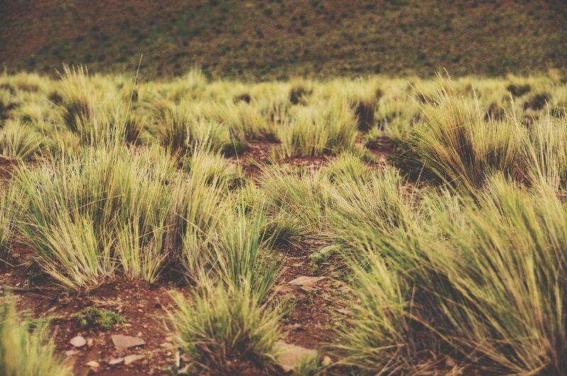 pastizal Field