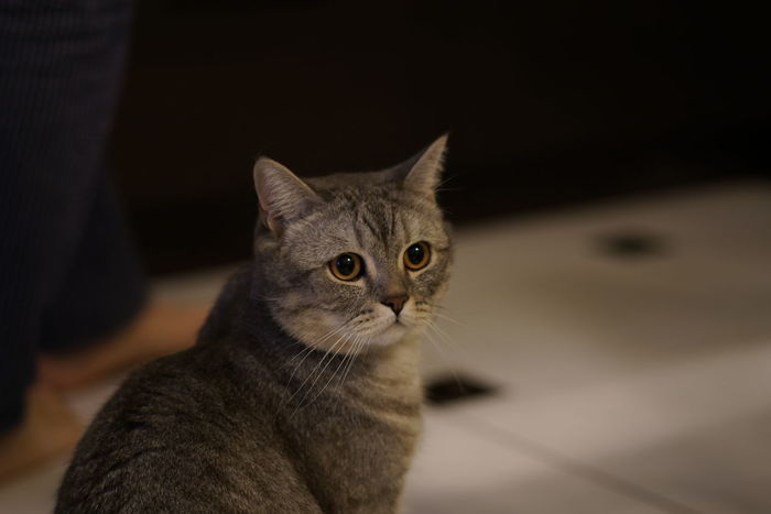Animal Themes British Shorthair Close-up Day Domestic Animals Domestic Cat Feline Indoors  Kids Looking At Camera Mammal No People One Animal Pets Portrait Tabby Cat