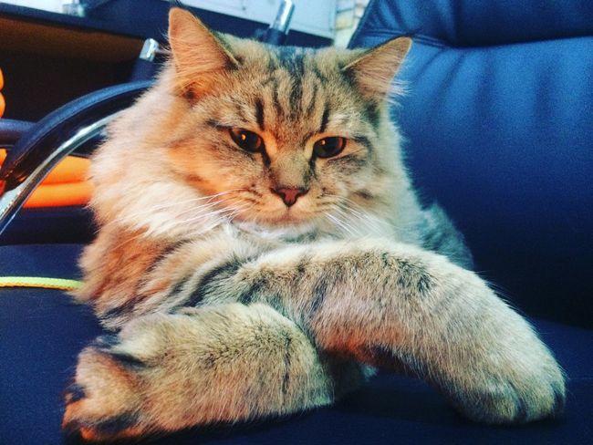 Persiancat Cat