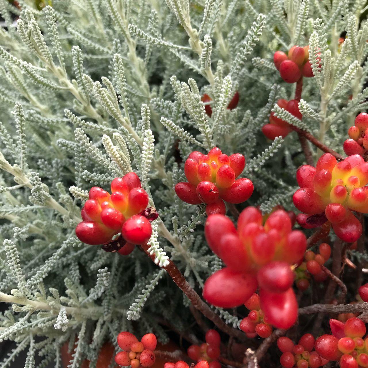 CLOSE-UP OF FROZEN RED BERRIES IN WINTER