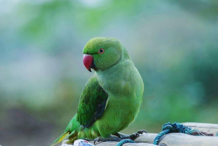 Parrot Bird Nature Animal Wildlife Green Color Animals In The Wild No People Beauty In Nature Day Close-up Multi Colored Outdoors Tree Birds Of EyeEm