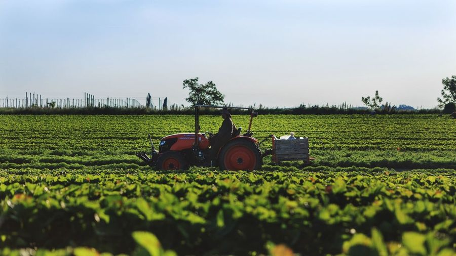 Strawberries Field Landscape Tractor Tractor In The Field Agriculture Farm Crop  Spring Plant Sunlight Healthy Nature