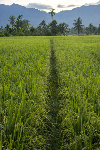 Plant Growth Field Agriculture Landscape Land Crop  Green Color Rural Scene Tree Tranquility Beauty In Nature Environment Tranquil Scene Scenics - Nature Farm Nature Cereal Plant No People Sky Outdoors Plantation Rice Paddy Fields View Rice Paddy Rice - Cereal Plant