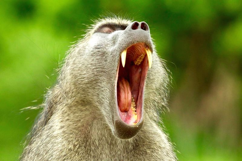 WILD ANIMALS Animal Themes Animal One Animal Mammal Animals In The Wild Animal Wildlife Mouth Open Close-up Focus On Foreground Animal Head  Facial Expression Monkey Yawning Nature