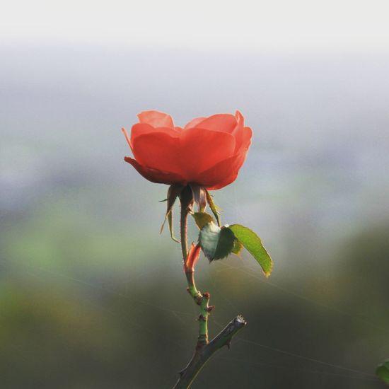 Flower Flower Head Red Petal Close-up Plant