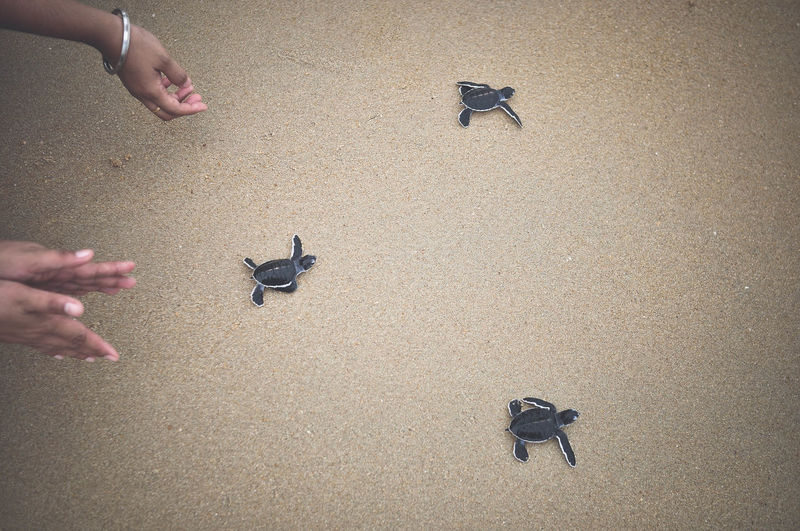 Cropped image of hands releasing hatchlings at beach