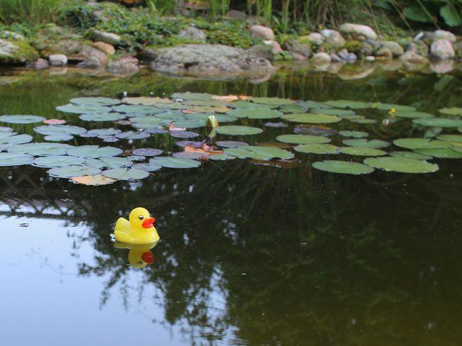 Rubberduck Rubber Duck Gummiente Quietscheente Quietscheentchen Teich Seerosenteich Seerosen