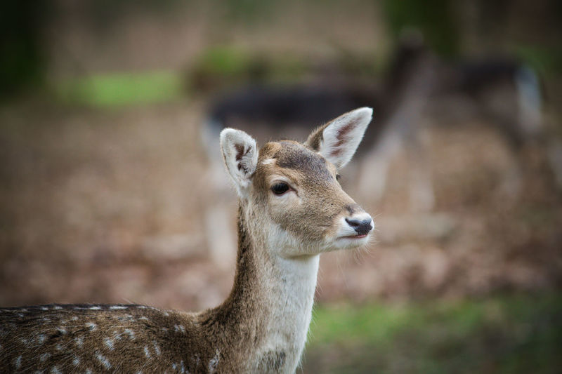 Damwild Animal Themes Animal Wildlife Animals In The Wild Close-up Day Domestic Animals Focus On Foreground Grafenberger Wald Looking At Camera Mammal Nature No People One Animal Outdoors Portrait Young Animal