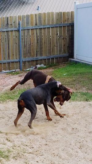 Dog Playing Dog