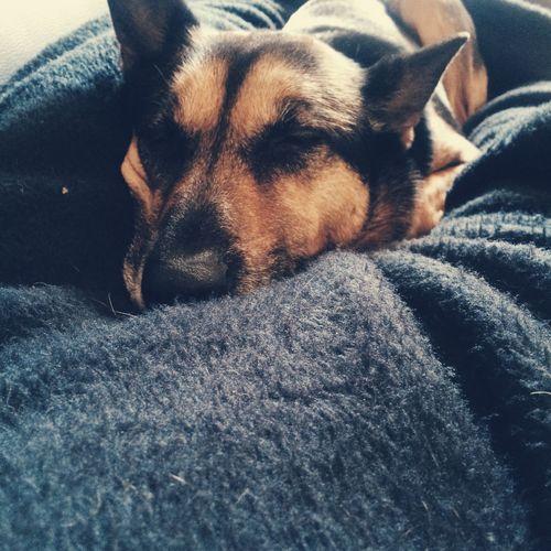 Dog Black Brown Fur Asleep Sleeping Blanket Bed Myphoto