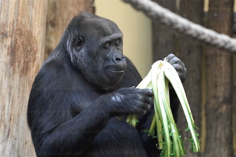 Close-up of gorilla holding plant at zoo