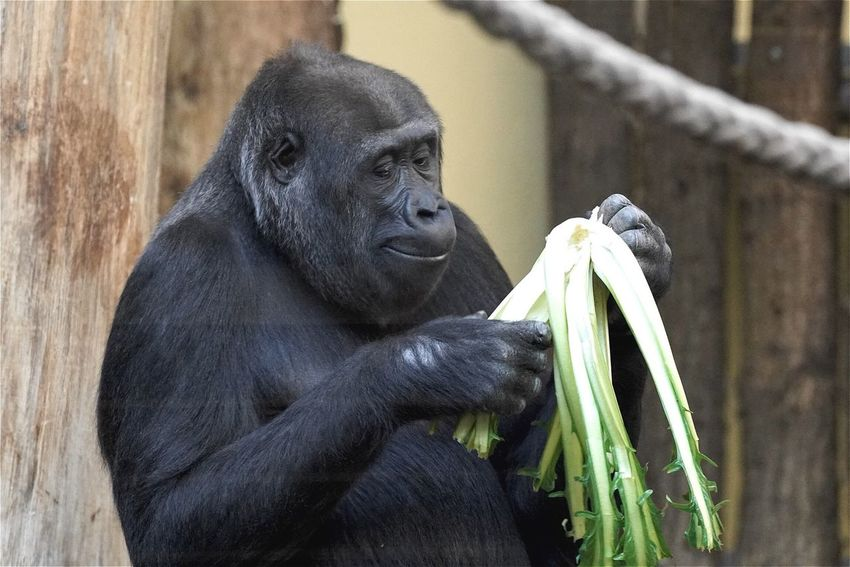 Monkey Gorilla Animals Zoo Berlin Open Edit Eye4photography  EyeEm Best Edits AMPt_community Tadaa Community