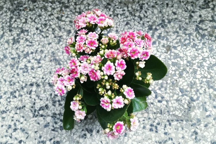 Flower Fragility Growth Plant High Angle View Nature No People Beauty In Nature Pink Color Petal Day Flower Head Blooming Outdoors Leaf Kalanchoe Flower Kalanchoe Close-up Kalanchoe Luciae Place Of Heart Freshness Calandiva Calandivas