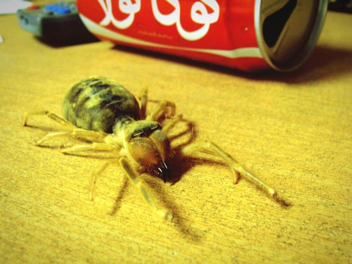 Camel Spider Wind Scorpion Close-up Animals In The Wild Spider Spiders Spider Nature_collection Eyenaturelover Afganistan