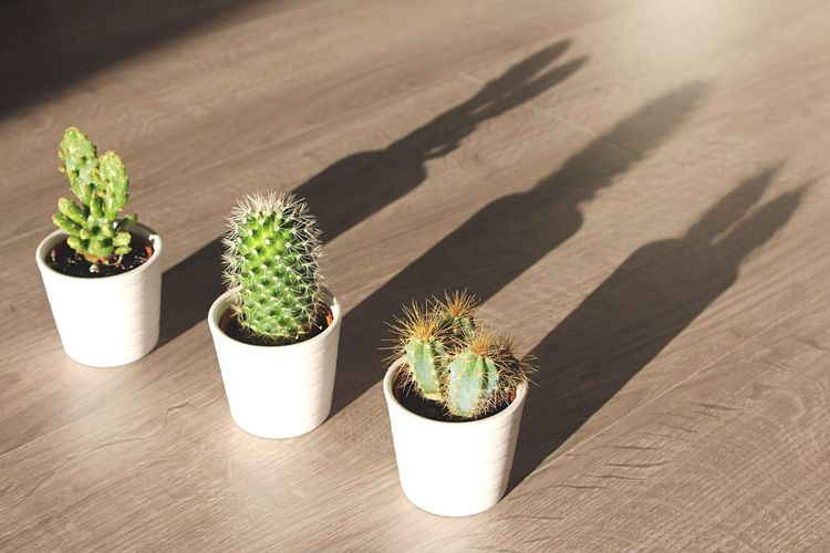 [ Home Interior ] Little cactus will become big 🌵! 17.62° Cactus Potted Plant Barrel Cactus Thorn Plant Growth Shadow Spiked Green Color Close-up Freshness Interior Views Interior Decoration Interior Decorating Cute Home Interior Home Thorns Home Sweet Home Organic Life Things That Are Green Green