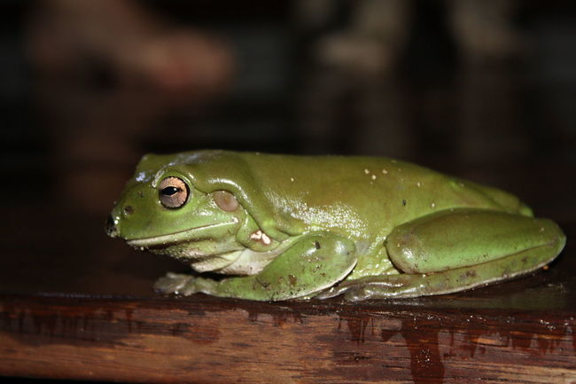 Animal Themes Close-up Frog Green Color Nature No People One Animal Outdoors Side View Sitting Water