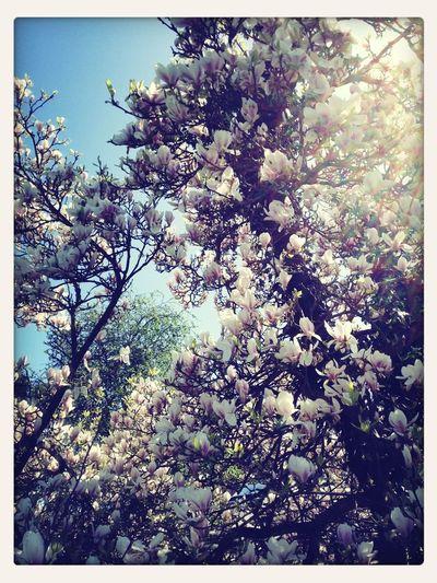 Magnolia In Blossom