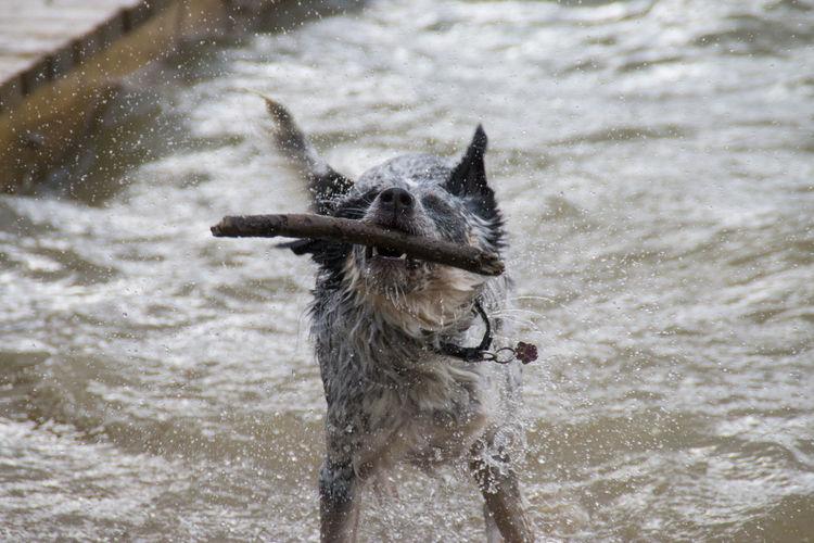 Dog Holding Stick At Sea Shore