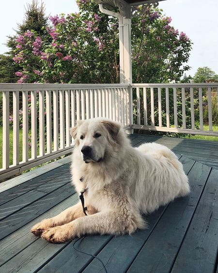 Dog sitting on porch