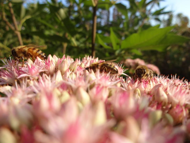 Animals Beauty In Nature Bee Bees Bees And Flowers Close-up Flower Flower Head Focus On Background Fragility Freshness Green Green Color Growth Nature Petal Pink Color Plant Selective Focus Springtime Surface Level Three Tranquility